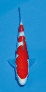 12部紅白 国魚賞