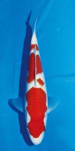 20部紅白 国魚賞