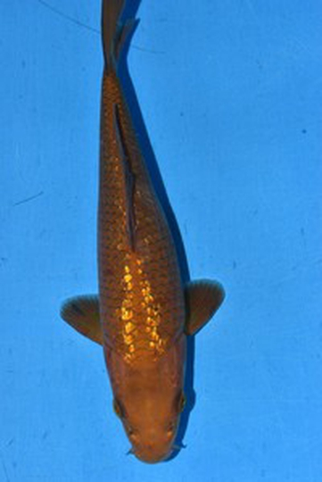 2020年産銀鱗茶鯉