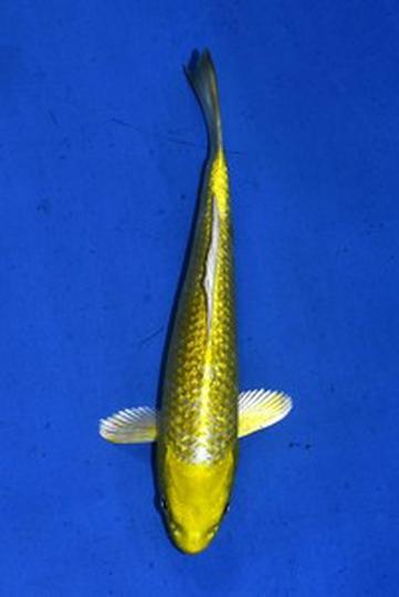 2020年産 銀鱗変わり鯉