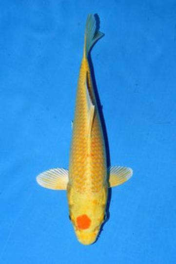 2020年産 変わり鯉