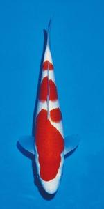 25部紅白 幼魚総合優勝